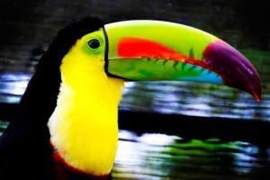 beautiful tucan